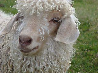Goat3